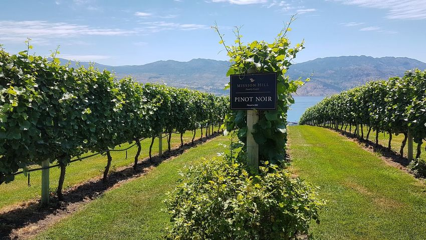 Pinot Noir Vineyard, Mission Hill Winery, Okanagan Valley, Canada #wine #pinotnoir #Nature  #landscape #nature #photography #wino #missionhillestate #Canada #cellardoor #delicious #travelphotography #travel #likeforlike #likemyphoto #qlikemyphotos #like4like #likemypic #likeback #ilikeback #10likes #50likes #100likes #20likes #likere #britishcolumbia #Adventure #Adventure Club #happy #Food Outdoors Day Tree Sky No People Grass