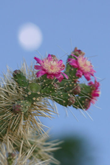 Background Moon Beauty In Nature Blooming Cactus Cactus Flower Cactus Flowers At Night Cactus In Bloom In Bloom Low Angle View Moon Nature Outdoors Pink Color Selective Focus Sky