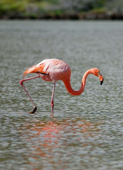 Flamingo walking in sea at galapagos islands