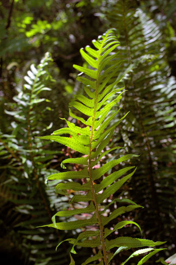 Plant Green Color Growth Leaf Plant Part Nature Beauty In Nature Fern Day Focus On Foreground Close-up No People Forest Outdoors Tranquility Land Frond Sunlight Selective Focus Leaves