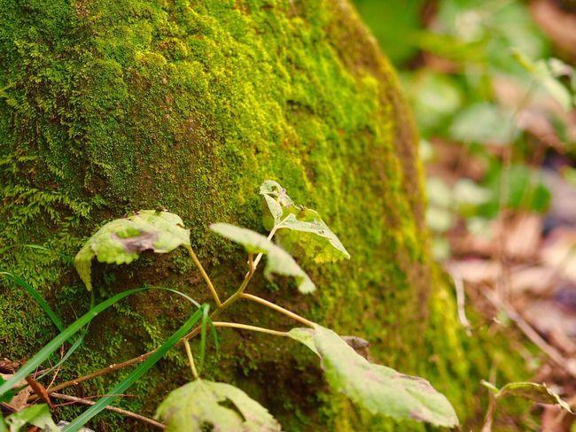 養老渓谷 Growth Nature Green Color Plant Close-up Grass No People Outdoors Day Animal Themes Beauty In Nature