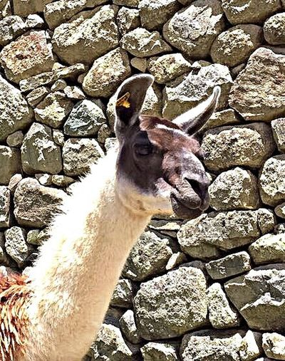 Llama Llama Machu Picchu Peru Ancient Ruins Ancient City On Top Of A Mountain Ancient Rocks Travel Color Palette Colour Of Life Eyeemphoto Two Is Better Than One Two Ears