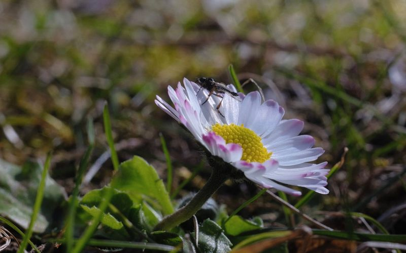 Flowering Plant Flower Flower Head Close-up Beauty In Nature Pollen Focus On Foreground Petal Insect Macro_collection Macro Nature Daisy 🌼 Analog Lens