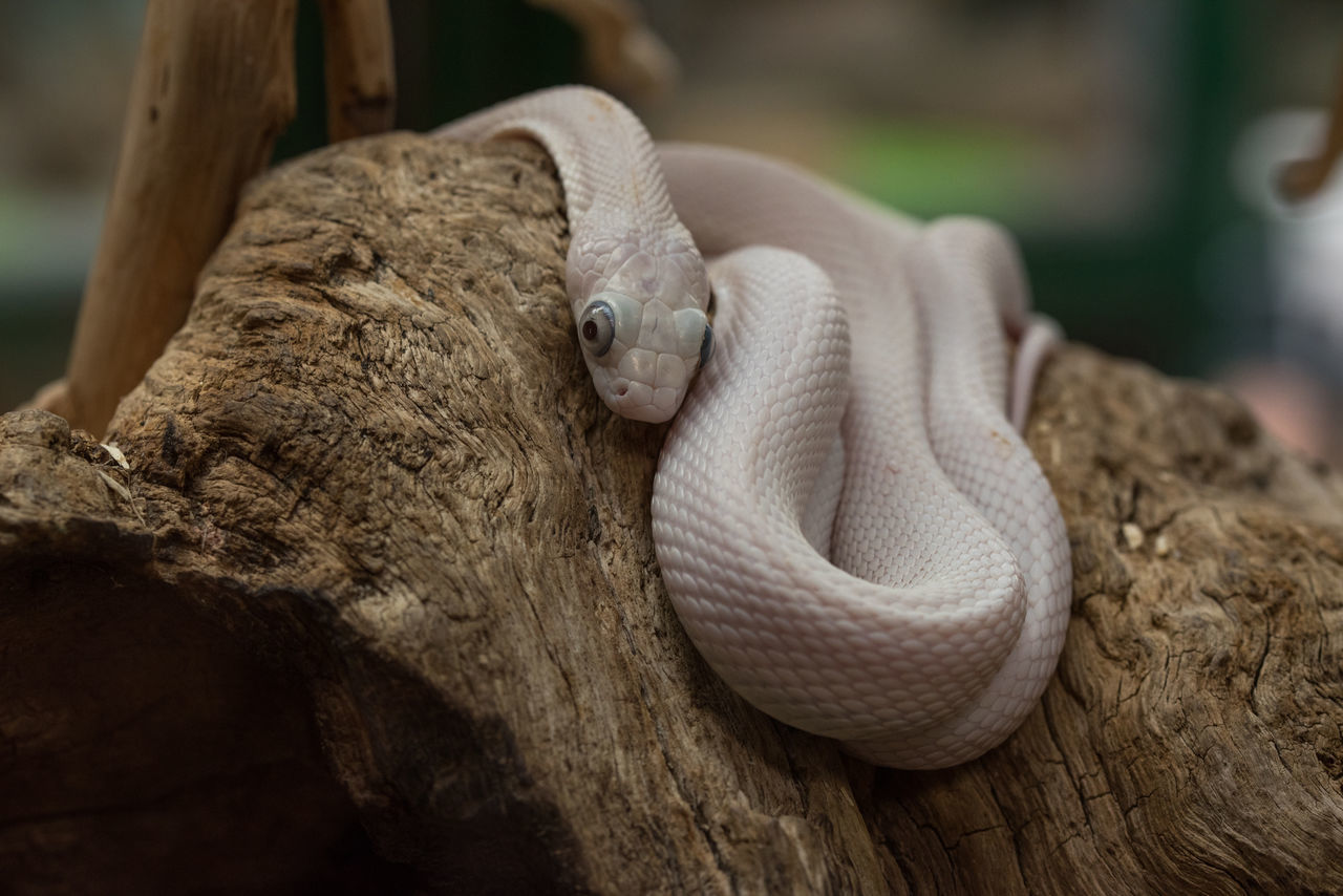 one animal, animal themes, reptile, animals in the wild, animal wildlife, close-up, nature, no people, day, animal scale, outdoors, mammal