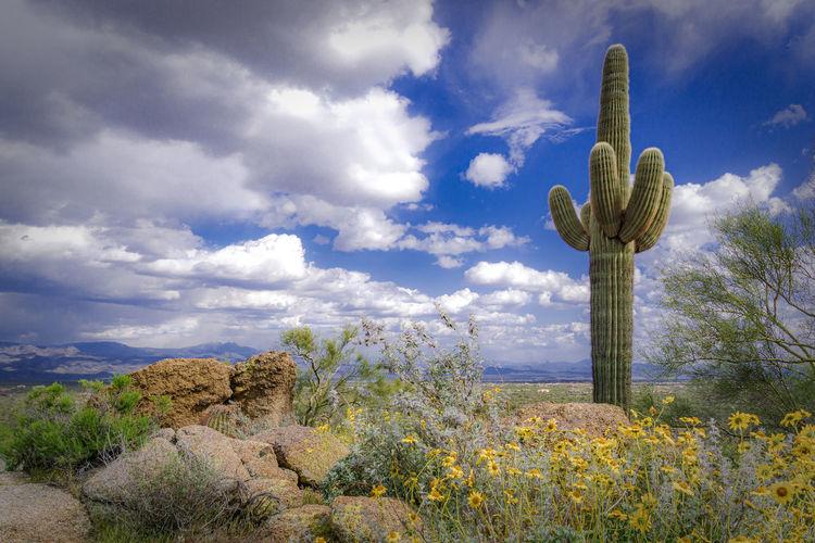 Saguaro cactus plants growing on field against sky