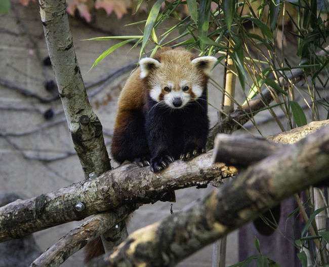Tree Animal One Animal Red Panda Mammal Branch Nature