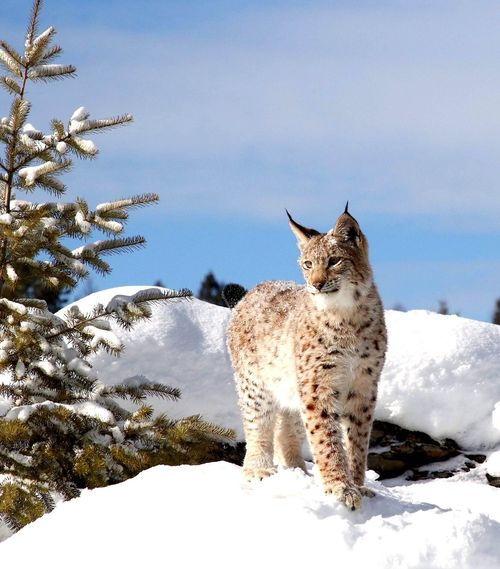Young lynx on hill top One Animal Animal Themes Mammal Snow Winter Day Feline Nature Cold Temperature No People Outdoors Beauty In Nature Sky Wildlife Wildlife Photography Snow Scene  Wildlife & Nature Cat Nature Lynx In Snow