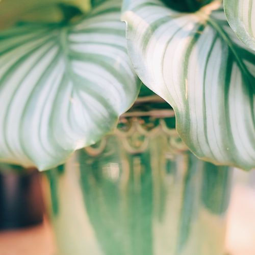 Potted soft green Floral Pattern Floral Botanical Botanic Focus On Details Focus On Foreground Softness Soft Focus Green Colours Nature Beauty In Nature Leaves Close Close-up Closeup Leaf Vein Leaf Potted Plant Potted Pot Indoors  Close-up No People Day Fragility