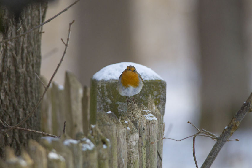 male robin in courtship plumage sits in the snow Animal Themes Close-up Cold Temperature Day Focus On Foreground Nature No People Outdoors Snow Winter