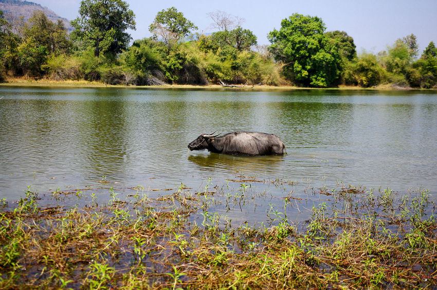 Buffalo Animal Animals Animals In The Wild ASIA Beauty In Nature Buffalo Horns Lake Laos Mammal Nature Nature Nature_collection Swimming Traveling Wat Phou Water Wildlife Wildlife & Nature