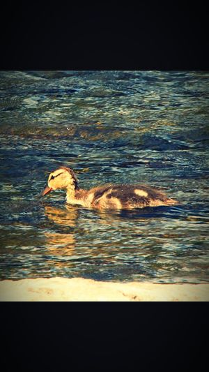 Duckling on the Rideau River