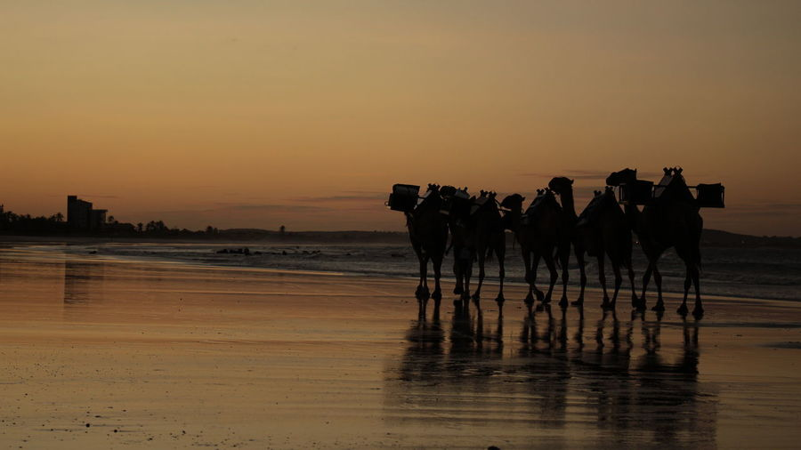 Camels walking on shore during sunset