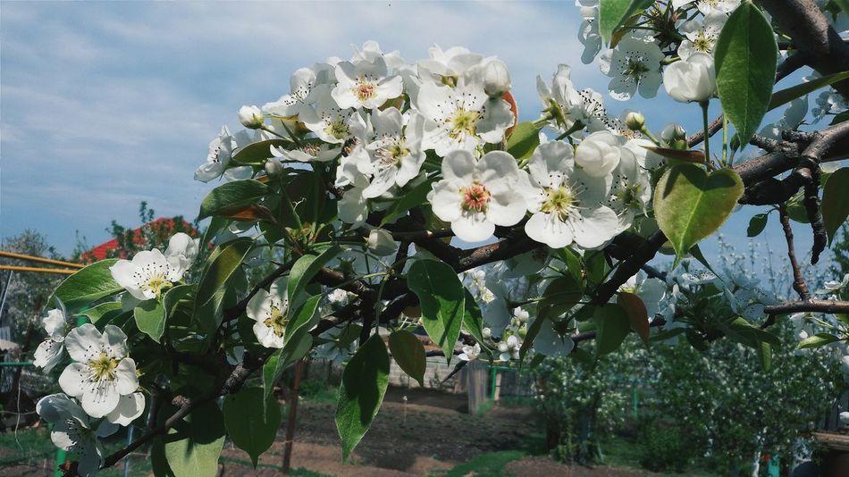 Hello World Taking Photos EyeEm Nature Lover Russian Nature Flowers Three Apple