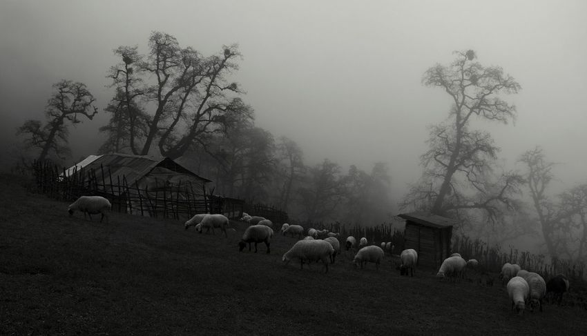 Iran Nature Jungleland Black And White Photography Nikonphotography Sheeps Tree_collection  Trees Autumn 2016 Foggy Weather Bnw_captures
