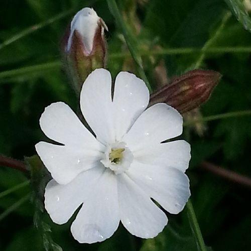 Zhytomyr Ukraine Wildflower Flowers