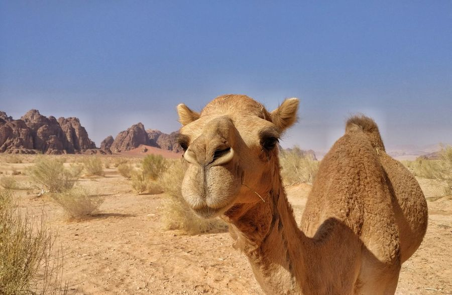 One Animal Sunlight Desert Looking At Camera Sky Animal Body Part Nature Outdoors Portrait Safari Animals Animal Themes Close-up No People Animals In The Wild Hoofed Mammal Livestock Desert Life Travel Photography Beauty In Nature Amazingjourneys Wickitravels To  Wadi Rum Jordan