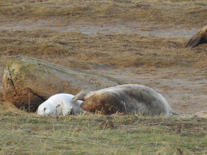 Mum I've got an itch Seals Two Animals Animals In The Wild No People Nature Togetherness Outdoors Animal Wildlife Donna Nook Beauty In Nature North Lincolnshire Coast Animals In The Wild Grey Seal And Pup
