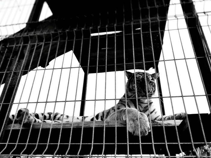 Freedom Tigers
