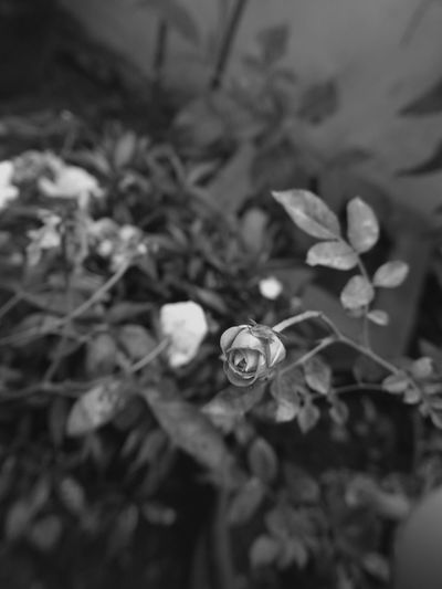 Monochrome Black&white Aiikos Garden Flowerporn Blackandwhitephotography Aiikos Black.n.white Black & White Flower Porn Flower Collection Aiikos Flowers Roses Flower Aiikos Heaven Aiikos Dark Moods @aiiko Rose🌹 Roseporn Black And White Photography Blackandwhite Photography EyeEmNewHere