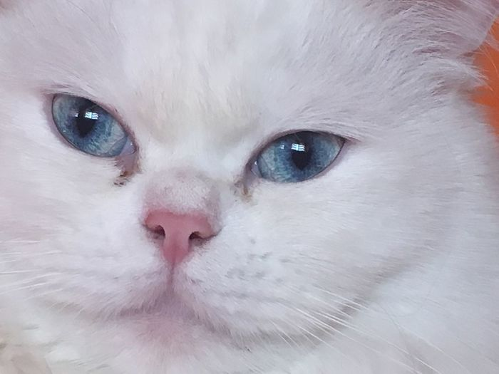Love... Pets One Animal Looking At Camera Domestic Animals Portrait Animal Themes Mammal Close-up Domestic Cat Animal Eye No People Feline Nature Day Outdoors EyeEmBestPics EyeEm Best Shots - Nature EyeEm Nature Lover EyeEm Gallery Persian Cat  EyeEmNewHere Pet Portraits