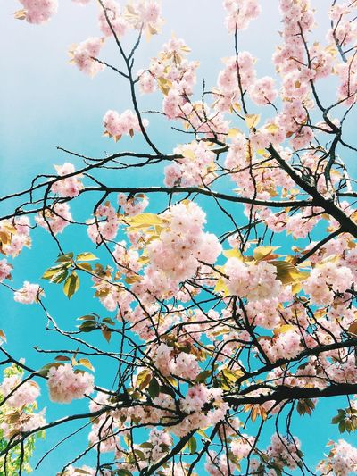 Low Angle View Plant Branch Flowering Plant Tree Flower Growth Beauty In Nature Sky Blossom Freshness Cherry Blossom Nature No People