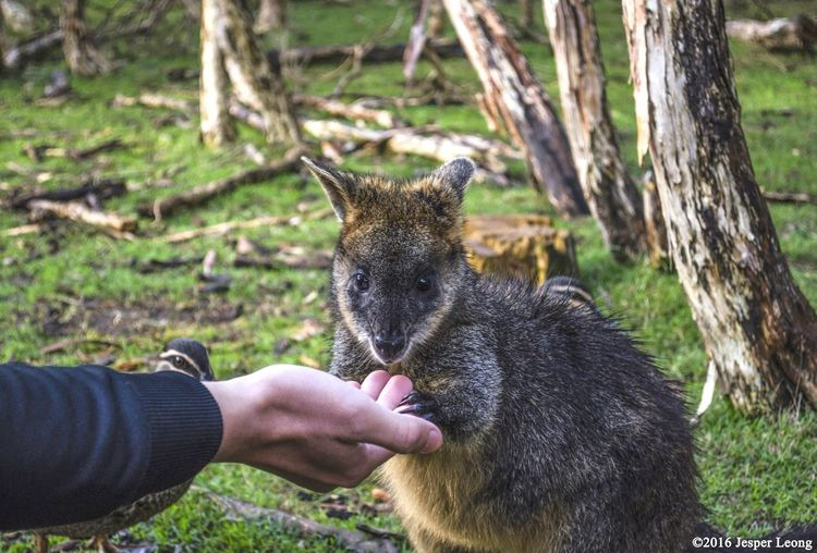 Nothing beats the feels when a wallaby hops up to you and feeds from your hand! Check out the Mornington Peninsula and Philips Island on my insta at @whenmycameraspeaks Mornington Peninsula Philips Island