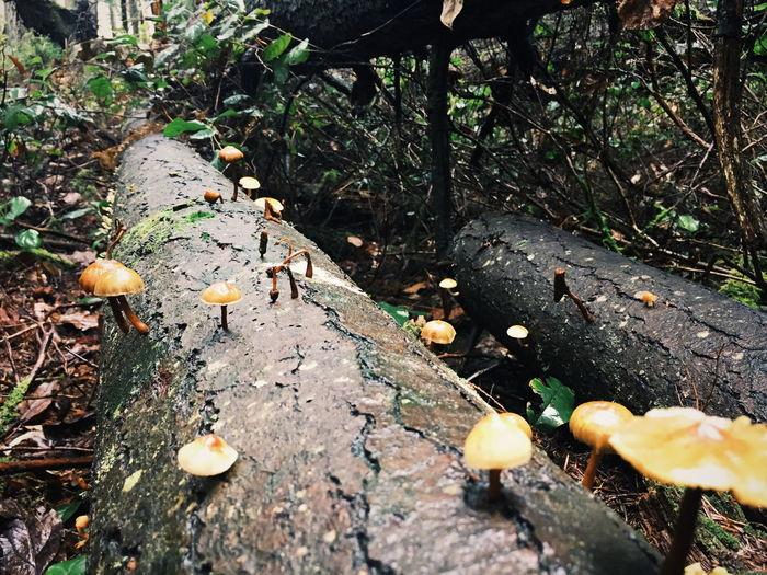 mushroom sightings on Pacific Northwest hiking trails Mushrooms Log Tree Pacific Northwest  Rainforest Walks Trail Hiking Washington State Puget Sound Leaf Tree Sunlight Close-up Fallen Tree Moss Fungus Mushroom Dead Tree Growing First Eyeem Photo