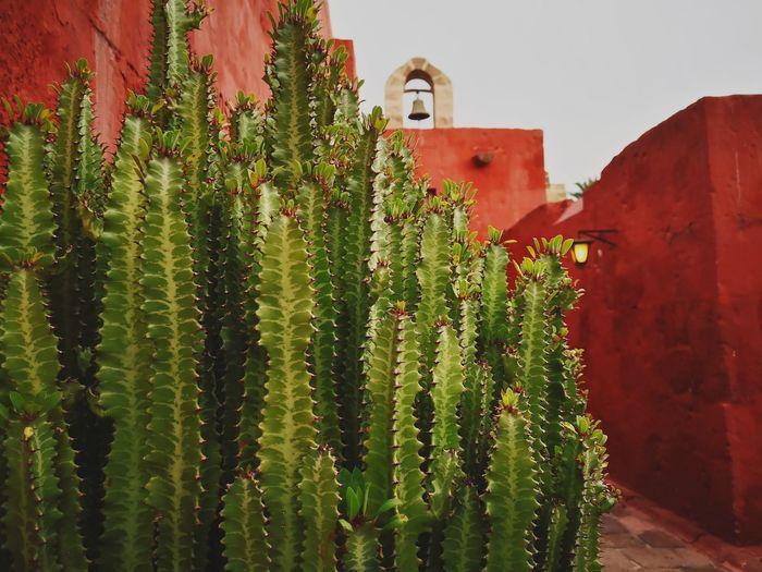 Cactus plant against building