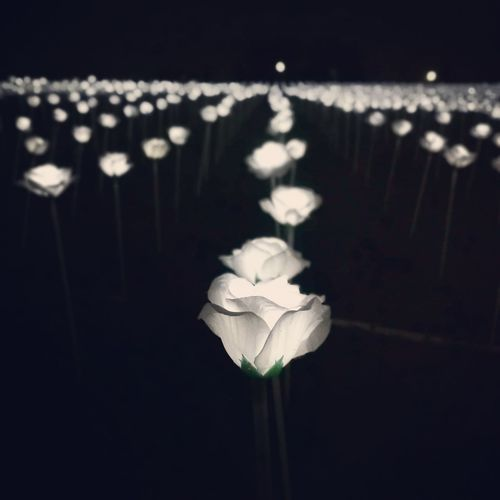 White rose Flower Light XJ Photography HuaweiP9 LED Light Rose🌹 Light Sensation Malaysia Maeps Decoration Close-up Focus