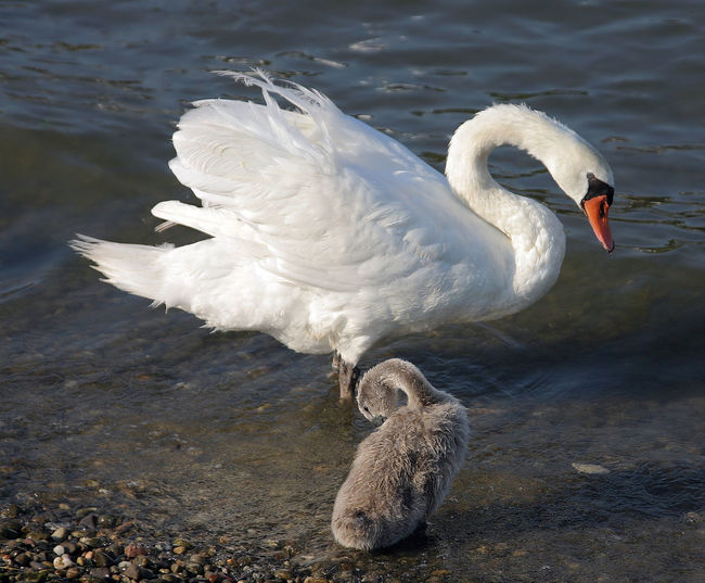 Cygnet Animal Wildlife Animals In The Wild Beak Bird Day Lake Mother And Cugnet No People Outdoors Swan Swan And Cygnet Water Water Bird