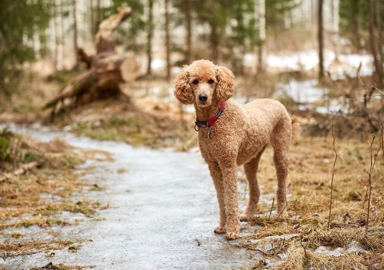Animal Portrait Animal Themes Day Dog Dog Portrait Domestic Animals Forest Happy Mammal Nature No People One Animal Outdoors Pets Poodle Spring Standard Poodle Standing
