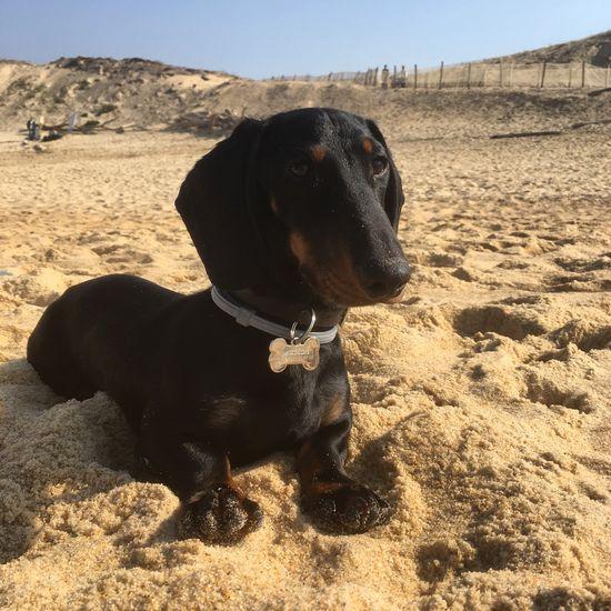 Young Animal Bassotto Dashund Teckel Pets Portrait Animal Themes Nature Ocean Dog