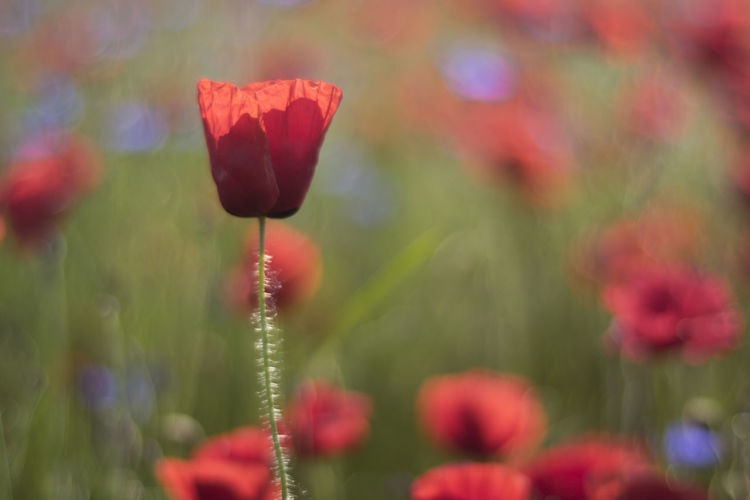 Bokeh Colour Of Life Depth Of Field Flower Freshness Leaf Meadow Nature Poppy Poppy Field Red Spring Meadow Springtime