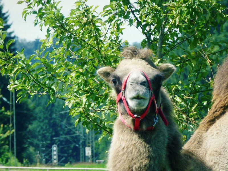 Camel Face Animal
