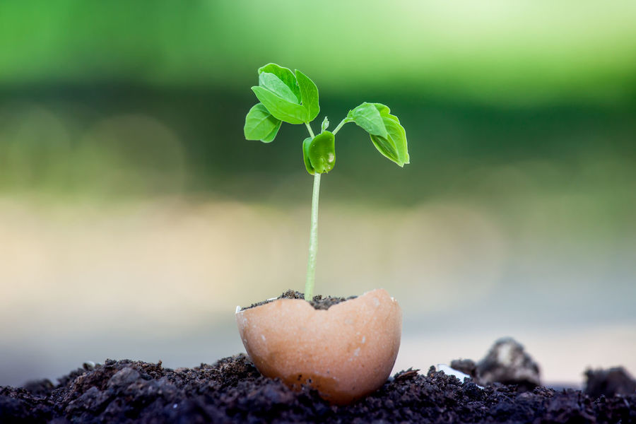 Young plant growing in egg shell Agriculture Growth Nature Plant Tree Botany Brances Bud Close-up Egg Eggshell Colour Environment Focus On Foreground Forest Trees Freshness Garden Growth Leaf No People Seeding Seedling Shell Small Soil Sprout