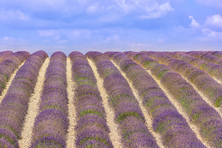 Summer scent, lavender perfume Agriculture Cloud - Sky Composition Destination French Riviera Freshness Landscape Lavender Lavender Field Lavender Purple Outdoors Provence Purple Rows Rows Of Lavender Rural Scene Scenics Scented South Of France Summer The Great Outdoors - 2017 EyeEm Awards Tourist Tranquil Scene Tranquility Travel