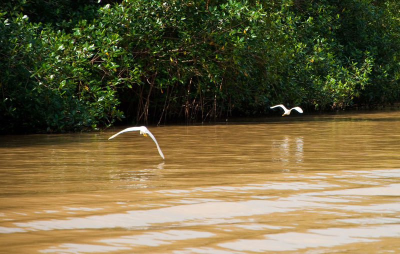 View of gray heron flying over water