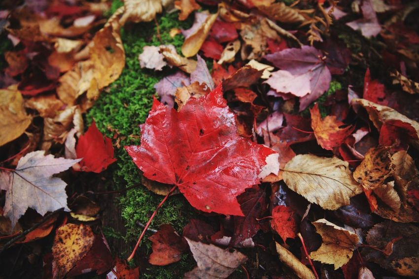Vermont Foliage Nature Nature_collection Trialphotography Vermont_scenery Fall Beauty Photooftheday Autumn colors Close Up Photography State Park  Groton Canon_photos Canonphotography Vermont_foliage Vermont Red Color Foliage Photoshoot Photographer Nature Photography Photography Change Leaf Autumn Dry Leaves Maple Leaf Nature Fallen Maple Beauty In Nature