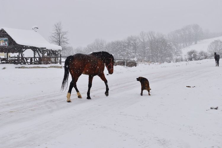 Horses on snow covered land
