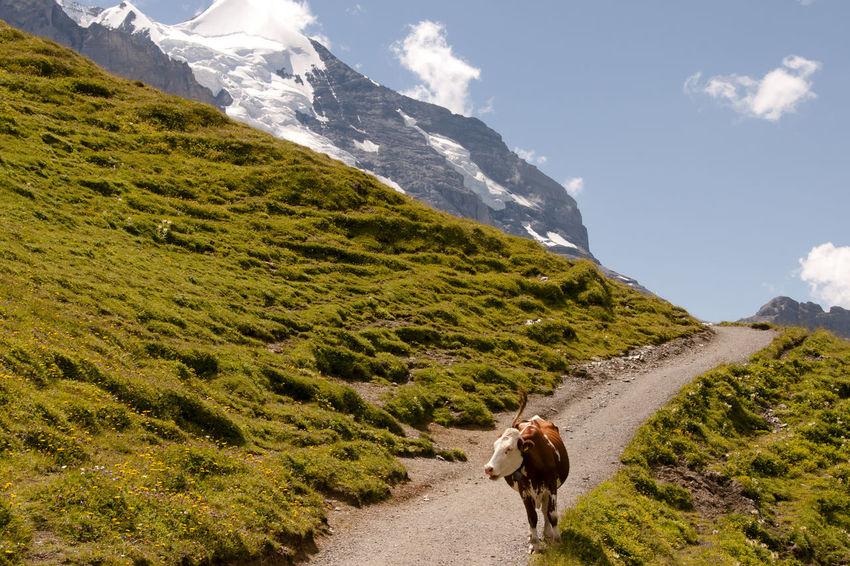 Cow in Jungfrau Gimmelwald Suisse  Alps Cow Jungfrau Milk Cow Switzerland