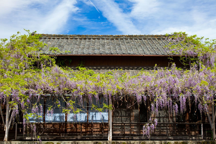 Wisteria Architecture Blue Built Structure Cloud Day Flower Freshness Nature No People Outdoors Plant Sky Tree