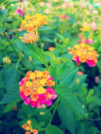 Flower Multi Colored Nature Beauty In Nature Plant Leaf Outdoors Flower Head Day No People Pink Color Freshness Fragility Yellow Growth Lantana Camara Close-up Growth กลิ่นอันหอมหวาน น่ารัก สวยงาม Wallpapers Backgrounds Nature Green Color
