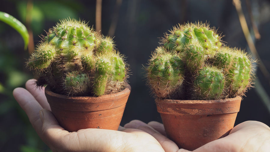 Cropped image of person holding cactus