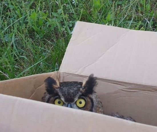 Box Great Horned Owl Peeking Out Raptor Raptor Rescue Animal Themes Bird Close-up Grass In A Box Nature No People One Animal Outdoors Owl Owl Eyes Peeking Pets Raptor Rehab