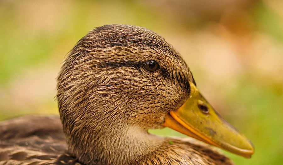 Animal Head  Animal Themes Animal Wildlife Animals In The Wild Bird Close-up Focus On Foreground Goose Nature No People One Animal Outdoors
