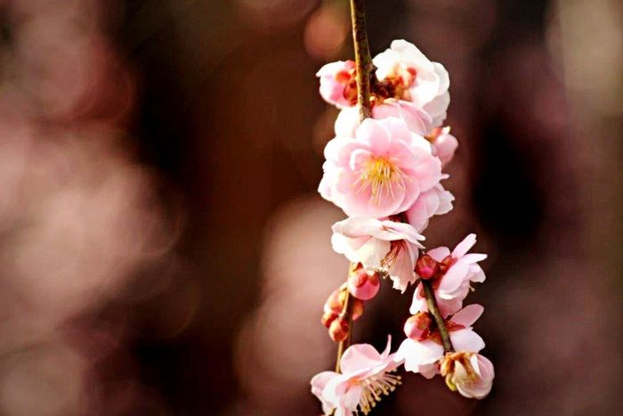 京都 Kyoto 天龍寺 Tenryuu-ji Temple Temple Nature Garden Flowers 梅 Ume Pink Photo Photography EyeEm Gallery Eyeemphotography Nature Photography Nature_collection EyeEm Nature Lover Japan