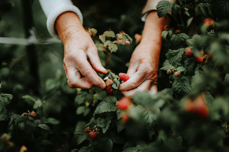 Human Hand Hand Human Body Part Plant Food Food And Drink Freshness Growth Picking Healthy Eating Agriculture Fruit People Day Selective Focus Nature Berry Fruit Holding Outdoors Ripe Farmer Gardening
