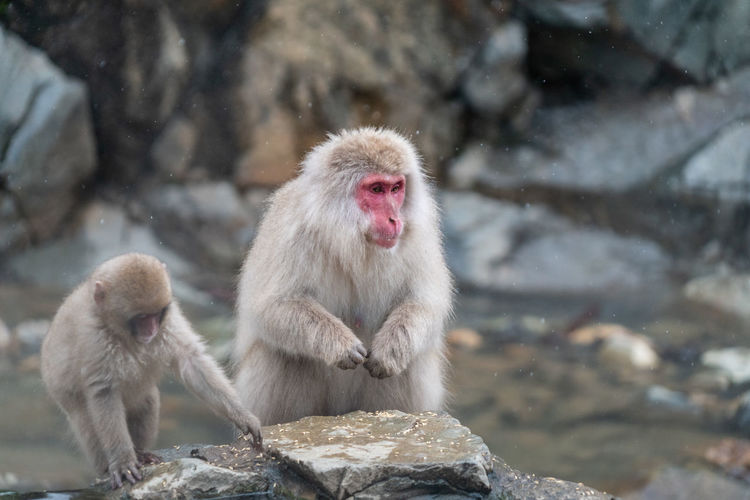 Primate Mammal Animals In The Wild Japanese Macaque Animal Wildlife Rock Rock - Object Solid Group Of Animals Focus On Foreground Vertebrate Day Two Animals Cold Temperature Sitting No People Outdoors Animal Family