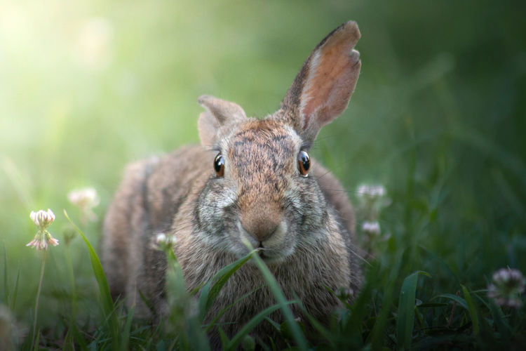 Close-up portrait of a rabbit on field