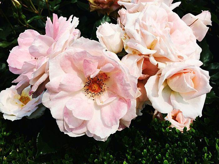 이것도 장미의 일종.. 외래종인데 기억안난다ㅎㅎ Flower Rose - Flower Pink Color Wild Rose No People Beautiful Daily Life 꽃스타그램 이쁨 꽃구경 꽃스타그램🌸 부천 Spring Springtime 장미축제 장미꽃 장미 Rose🌹 Rose♥